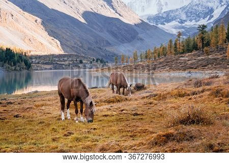 The Horses Grazing In The Valley Of River Akem On Backgroind Of Mountain Belukha. Altai Mountains, R