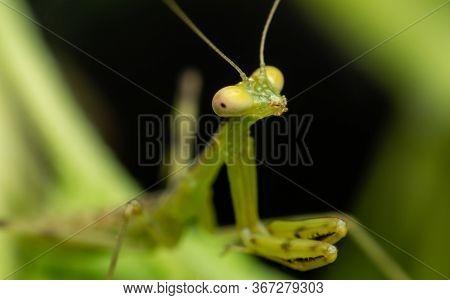 Close Up The Face Of The Green Hierodula Patellifera. Common Name Giant Asian Mantis, Asian Mantis,