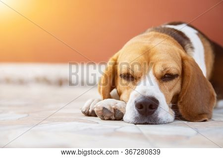 Crossbreed Puppy Beagle Looks Guiltily. Cute Red Dog Beagle Sitting In The Home, Looking Out The Doo