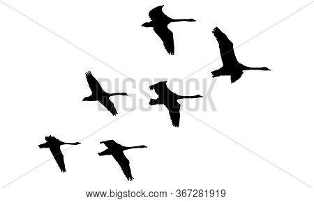 Flying Flock Of Swans Birds, Silhouettes. Vector Illustration