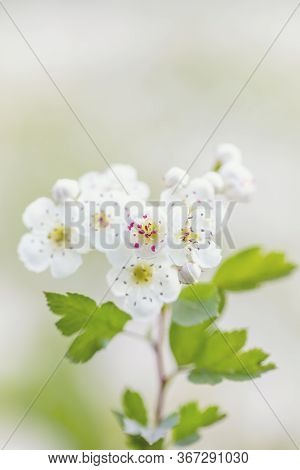 Detail Of Twig, Midland Hawthorn (crataegus Laevigata), White Flowering Tree In Springtime, Europe