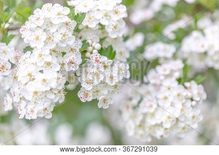 Midland Hawthorn (crataegus Laevigata), White Flowering Tree In Springtime, Europe