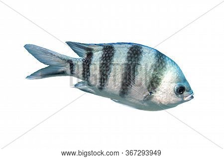 Scissortail Sergeant (major, Pintano, Abudefduf) Isolated On White Background. Striped Indo-pacific