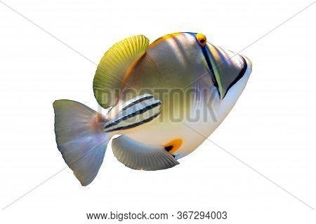 Arabian Picassofish (rhinecanthus Assasi, Lagoon Triggerfish) Isolated In A White Background. Unusua
