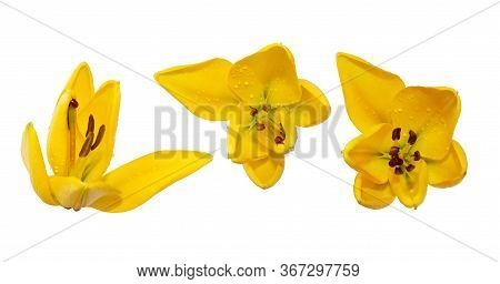 A Blooming Yellow Lily With Bud And Leaf Isolated On White. Stock Images For Design. Flowers Are Arr