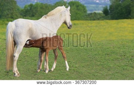 Foal Brown Drunk Mom Mare White Horse Equine
