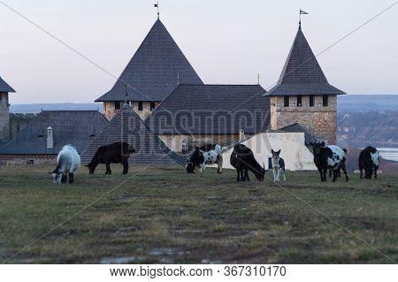 Goats Graze On A Hill Near The Khotyn Fortress