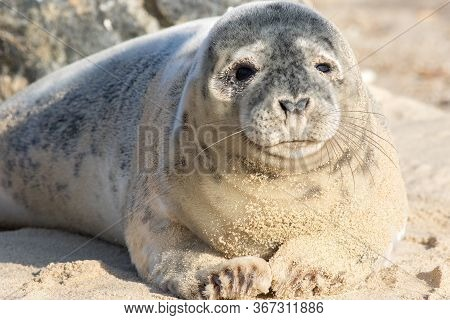 Baby Seal Pup. Cute Adolescent Gray Seal Puppy. Wild Grey Seal Portrait Image. Fluffy Young Animal F