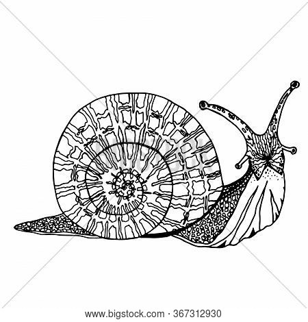 Funny Snail Sketch For Your Design. Hand Drawn Realictic Mollusk. Vector Illustration. Element For C