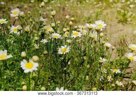 Daisies In The Summer Romantic Meadow. Oxeye Daisy, Leucanthemum Vulgare. Chamomile Flowers With Whi