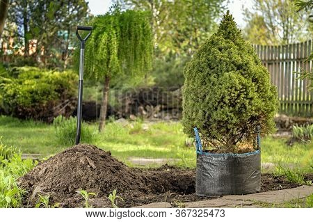 Sapling Coniferous Tree Is Prepared For Planting In The Park. Spruce Stands By Hole And Hill Of Soil