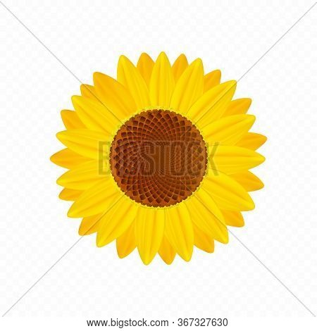 Beautiful Sunflower Isolated On Transparent Background. Premium Vector.