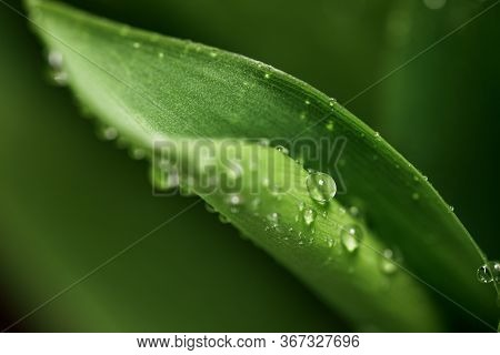 A Natural Texture Of The Leaves. Close-up Of A Dewdrop On A Fresh Juicy Lily Of The Valley Leaf In T