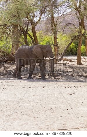 A Single Desert Elephant On A Dried River Bed In Namibia