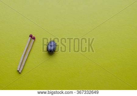 Large Ixodid Tick On A Yellow Background. A Tick Full Of Blood And Two Matches For Clarity Of Size.