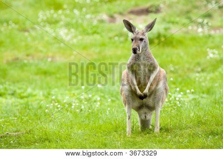 Kangaroo In A Meadow