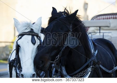 Two Horses, A White Horse And A Black Horse. Portrait Of Beautiful Horses.
