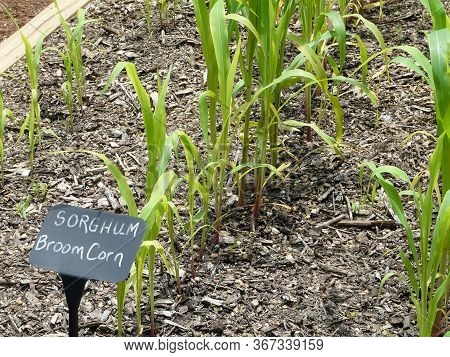 Broom Corn With Identification Label In A Small Vegetable Garden At A Public Garden Complex In Georg