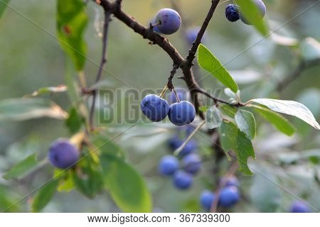 Wild Plum Fruit On A Branch. Branch With Ripe Plums. Plum Branch With Leaves And Fruits.