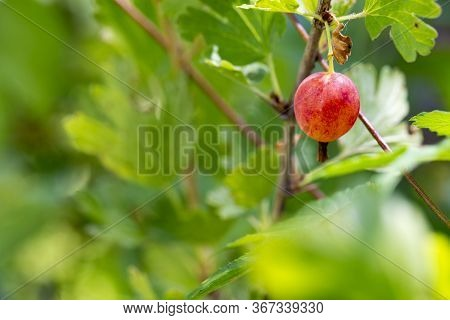 Gooseberry Berries On A Branch. Branch With Berries. Gooseberry Bush With Red Berries And Green Leav