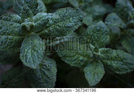 Mint Leaf Texture. Green Fresh Leaves Of Peppermint, Mint, Lemon Balm Close-up Macro Shot. Ecology N