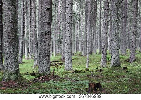 Pine Tree Forest In Transylvania, Romania. Silent Forest With Secular Trees Deep In Nature In Transy