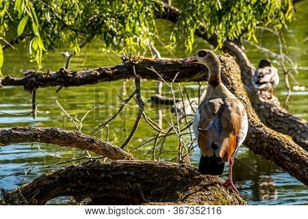 A Nil Goose Or Also Called Egyptian Goose Standing On A Tree At A Little Lake In The Mönchbruch Natu