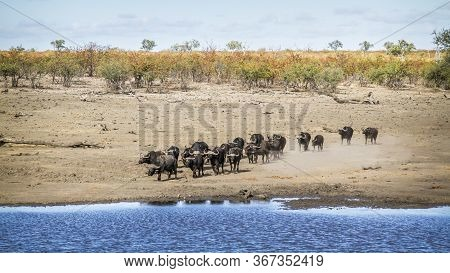African Buffalo Herd Running To Drink In Lakeside In Kruger National Park, South Africa ; Specie Syn
