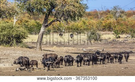 African Buffalo Herd Walking In Front View In Kruger National Park, South Africa ; Specie Syncerus C
