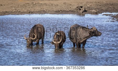 Three African Buffalos Drinking In A Lake In Kruger National Park, South Africa ; Specie Syncerus Ca