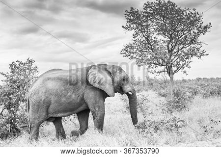 African Bush Elephant With Broken Tusk Walking In Savannah In Kruger National Park, South Africa ; S