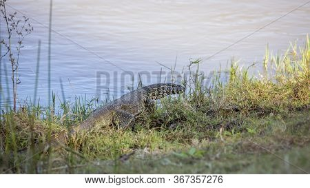 Big Nile Monitor Walking On Riverside In Kruger National Park, South Africa ; Specie Varanus Nilotic