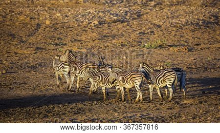 Small Group Of Plains Zebras At Dawn On Riverbank In Kruger National Park, South Africa ; Specie Equ