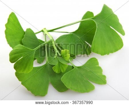 Leafs Of Ginkgo Biloba Isolated On White Background. Ginkgo Biloba, Commonly Known As Ginkgo Or Ging
