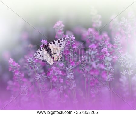 Beautiful Violet Nature Background.Floral Art Design.Macro Photography.Abstract Pastel Landscape with Copy Space.Butterfly and Lavender Field.Summer Butterfly on a Violet Flower.Creative Artistic Wallpaper.Tranquil Scene. Agricultural Meadow.Violet Color.