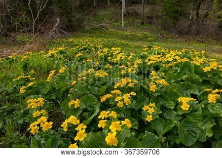 Russia, Kuznetsky Alatau. Yellow Spring Flowers On The Swampy Banks Of The Tom River.