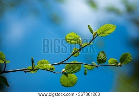 Green Twig On A Background Of Blue Sky. The Concept Of Spring And New Life