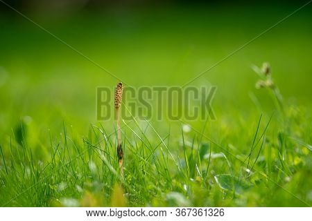 Green Summer Grass Meadow Close-up With Bright Sunlight. Sunny Spring Background. Green Lawn Close U