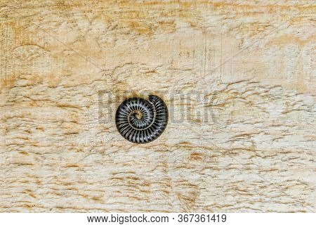 Curved Millipedes Curled Up On Artificial Wood In The Summer