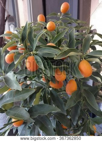 Seeds Edible Dwarf Orange Tree Garden Fruit Mandarin Bonsai Flores Citrus