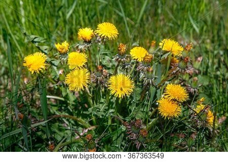 Dandelions In The Natural Environment Among The Grass. Yellow Spring Flower