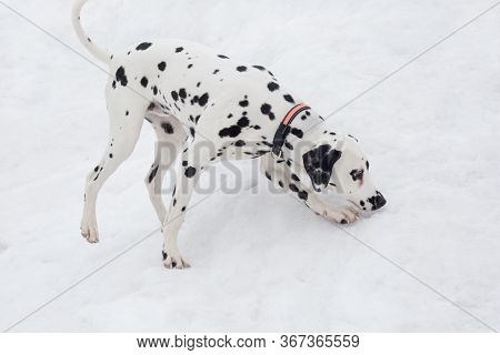 Cute Dalmatian Puppy On A White Snow In The Winter Park. Pet Animals.