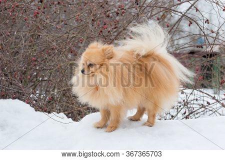 Cute Deutscher Spitz Puppy Is Standing On A White Snow In The Winter Park. Pet Animals.