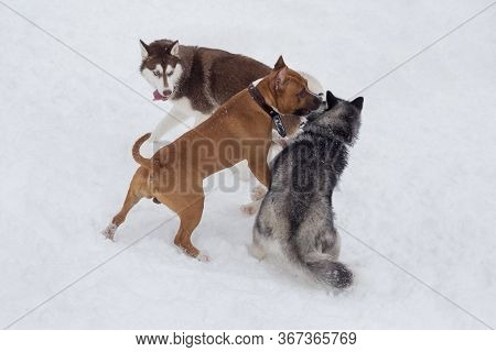 Two Siberian Husky Puppy And Amstaff Puppy Are Playing In The Winter Park. Pet Animals.
