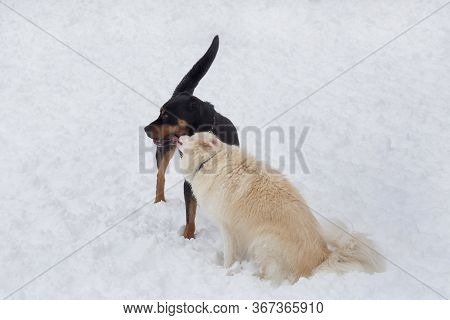 Rottweiler Puppy And Multibred Dog Are Playing On A White Snow In The Winter Park. Pet Animals.