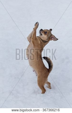 Cute Chihuahua Puppy Is Standing On A White Snow In Its Hind Legs. Pet Animals.