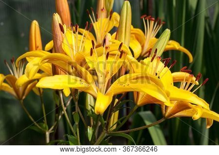 Flowers Of Lilium Canadense Are Growing On A Spring Meadow.