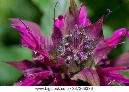 Monarda Didyma Is Growing On A Green Meadow. Close Up. Aromatic Herb. The Source Of Bergamot Oil.
