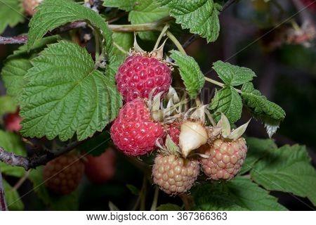 Branch Of Ripe Raspberry Is Growing In The Summer Garden. Red Sweet Berries.
