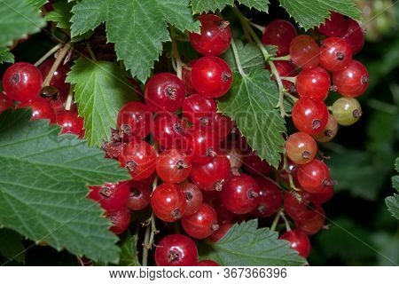 Redcurrant Berries Are Growing In The Summer Garden. Close Up. Bunch Of Berries With Fresh Green Lea